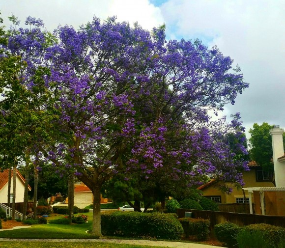 River Ranch Jacarandas